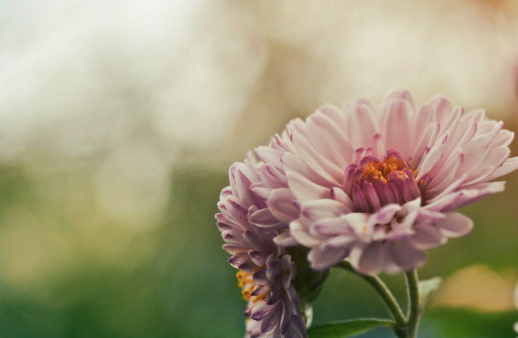 beautiful-bloom-blooming-marguerites