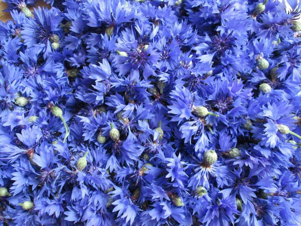 cornflowers-a-lot-of